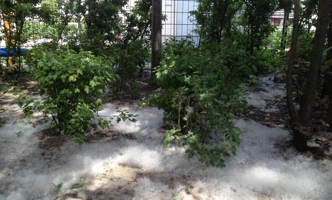 Poplar Tree seeds gather like snow in Berlin courtyards