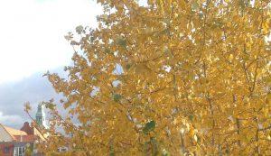 Yelloe leaves on a tress in Berlin in Autumn