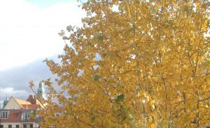 Yellowe leaves on a Tree in Berlin in Autumn