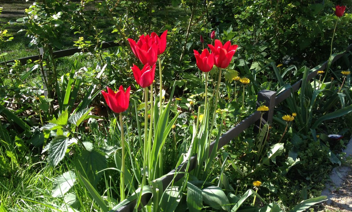 Tulips growing at a Hummanplatz Playground