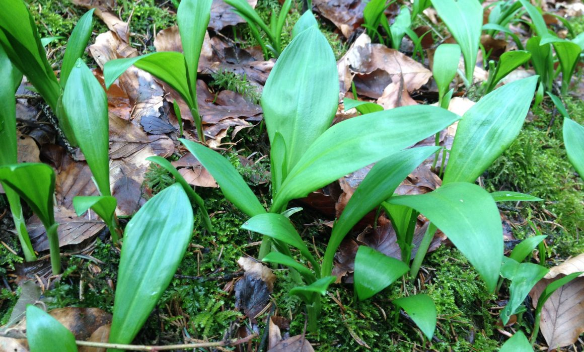 Baerlauch-leaves