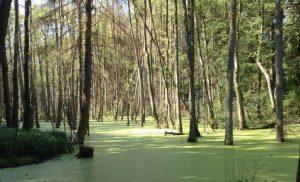 Mangrove-trees-Brandenburg